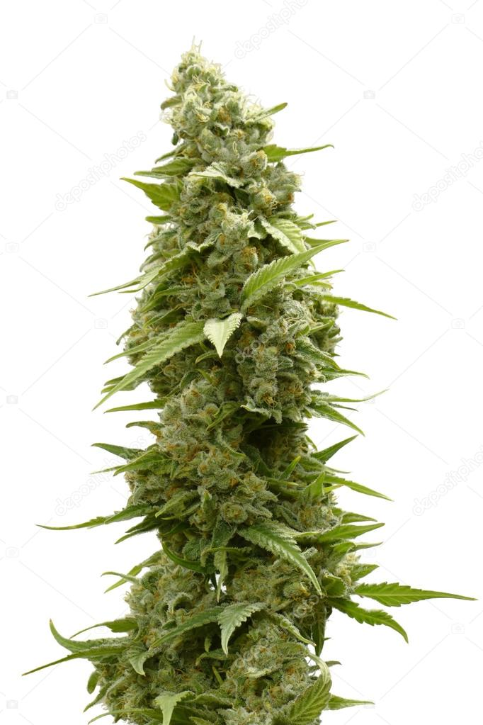 Long Marijuana Bud on Top of Cannabis Plant Isolated by White Background