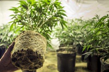 Marijuana Plant Roots in Transplanting