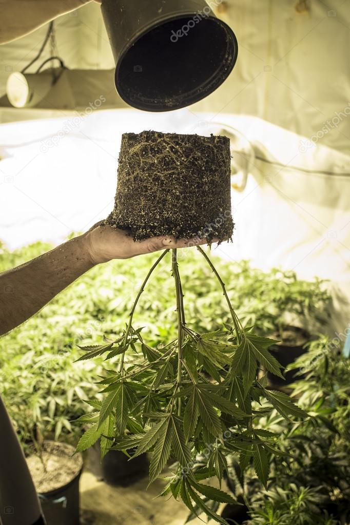 Marijuana Plant Held Upside Down while Transplanting