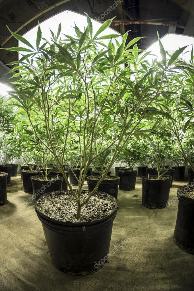 Green Leafy Indoor Marijuana Plants in Soil Under Lights