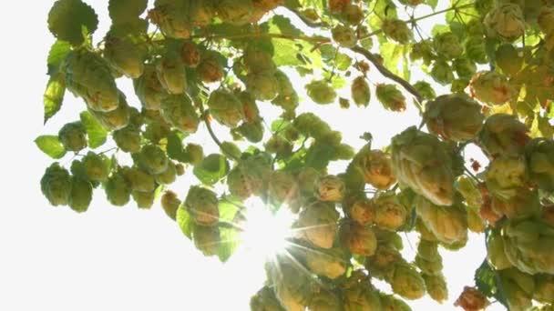 Pěstování chmele v slunce a vosa. 2 výstřely. Zpomalený pohyb. Detail.