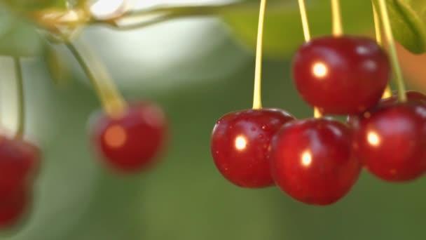 Cherries and a wasp. 2 Shots. Close-up.
