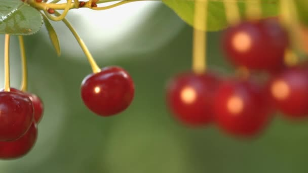 Growing cherry on blurred background. 2 Shots. Close-up.
