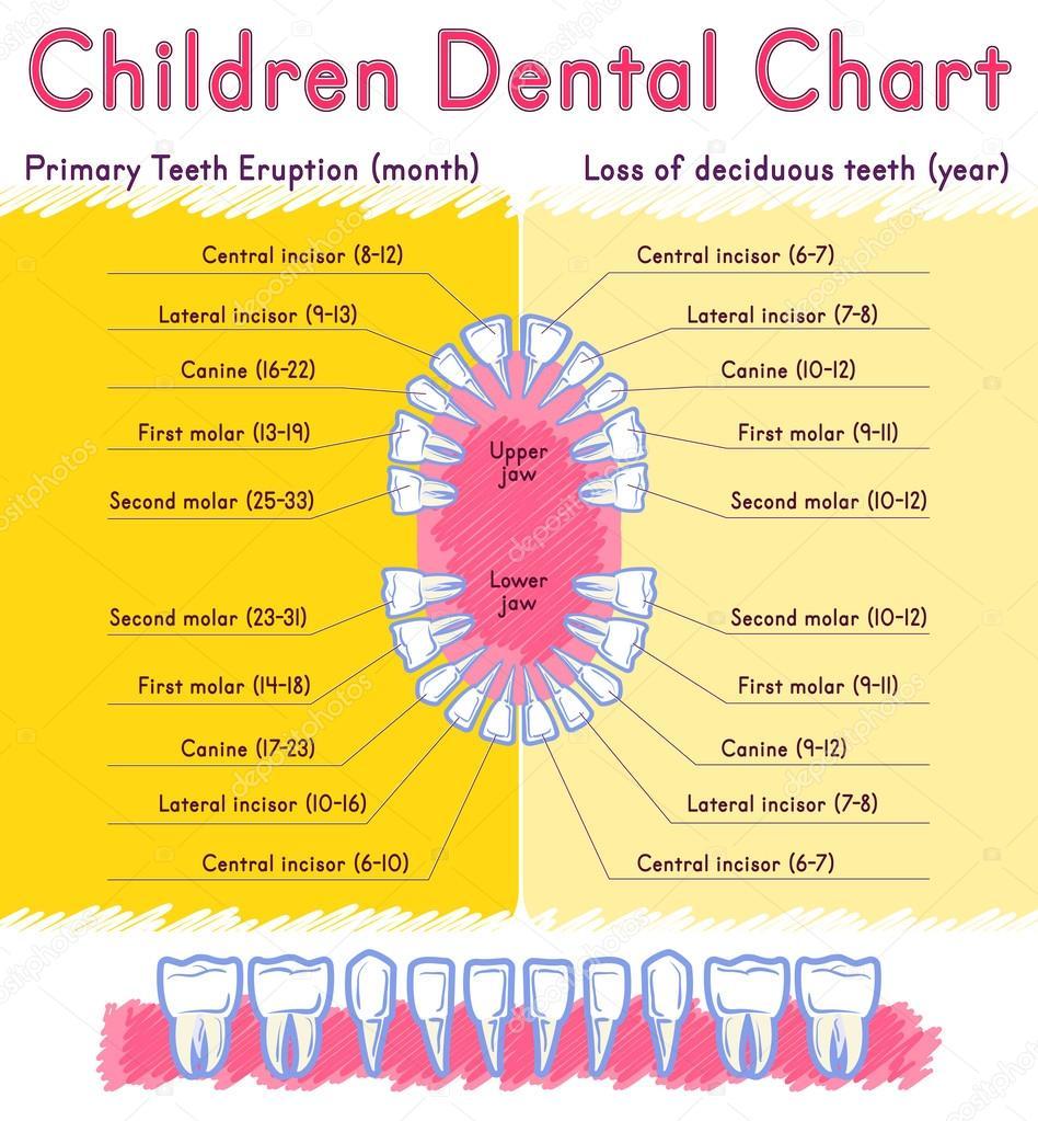 Anatomía de los dientes de los niños — Archivo Imágenes Vectoriales ...