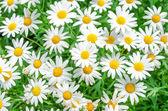 Fotografie daisy