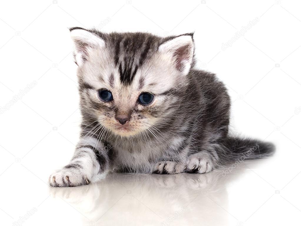 zdarma americké kočička obrázky