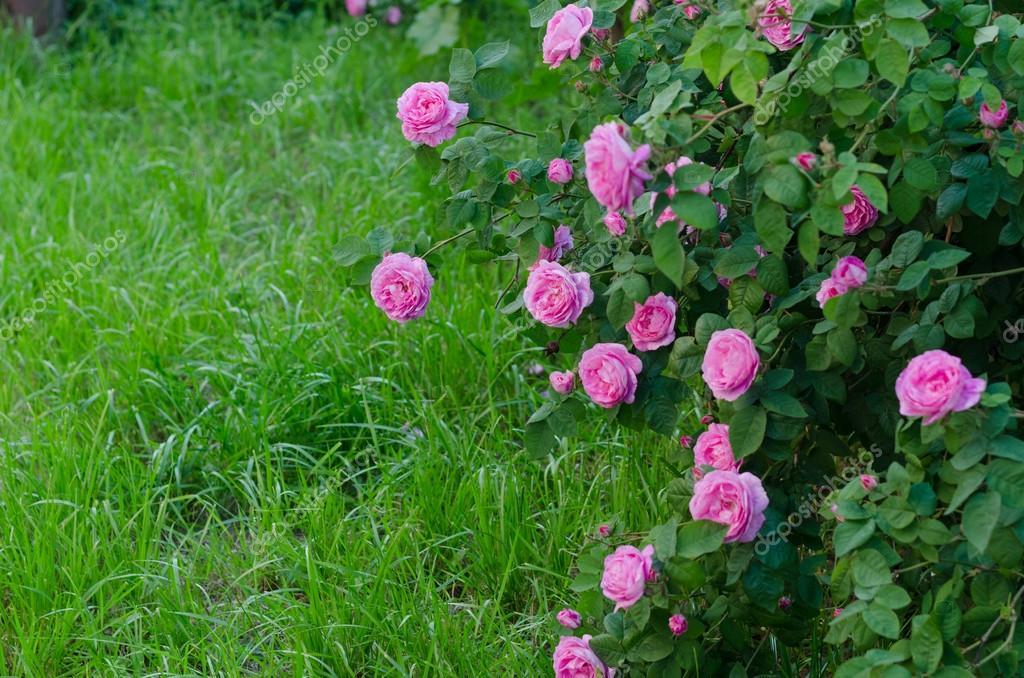 Giardino di rose rosse fotografia stock immagine di fiore