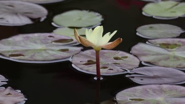 Krásná květinka lilie, která se vznáší nad vodou.