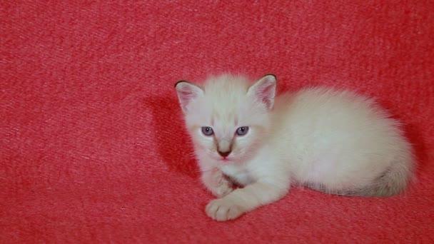 beautiful little white kitten