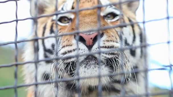 Tygr v zoo