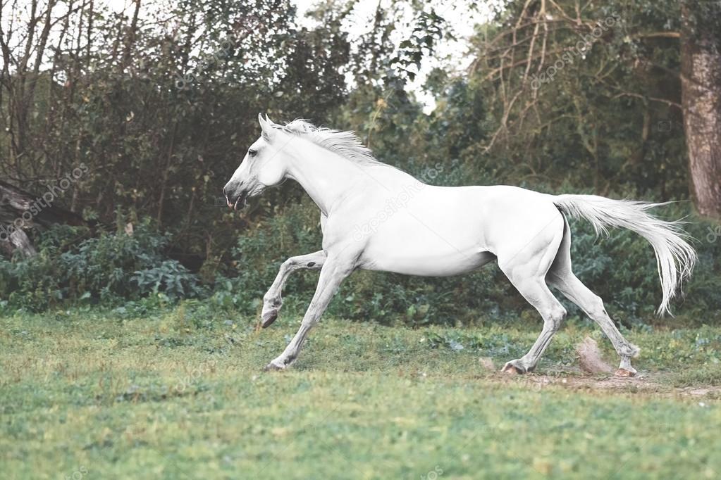 Trotteur d'Orlov cheval blanc galopant sur