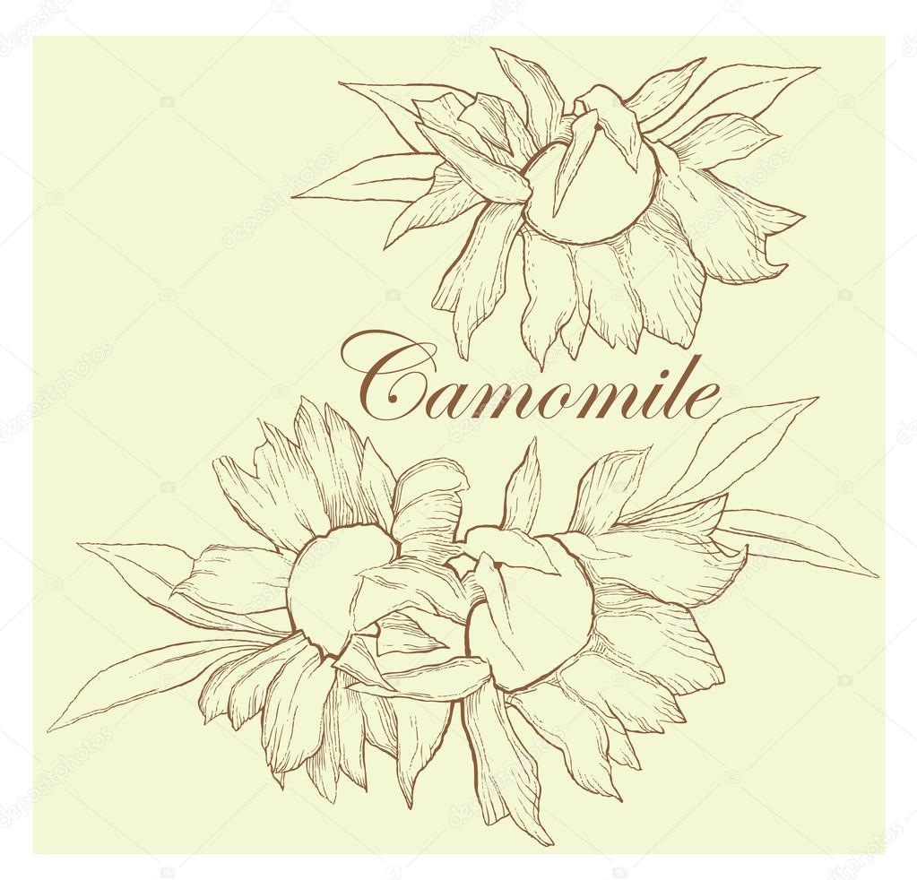 Camomile vector sketch. Medical herbs.