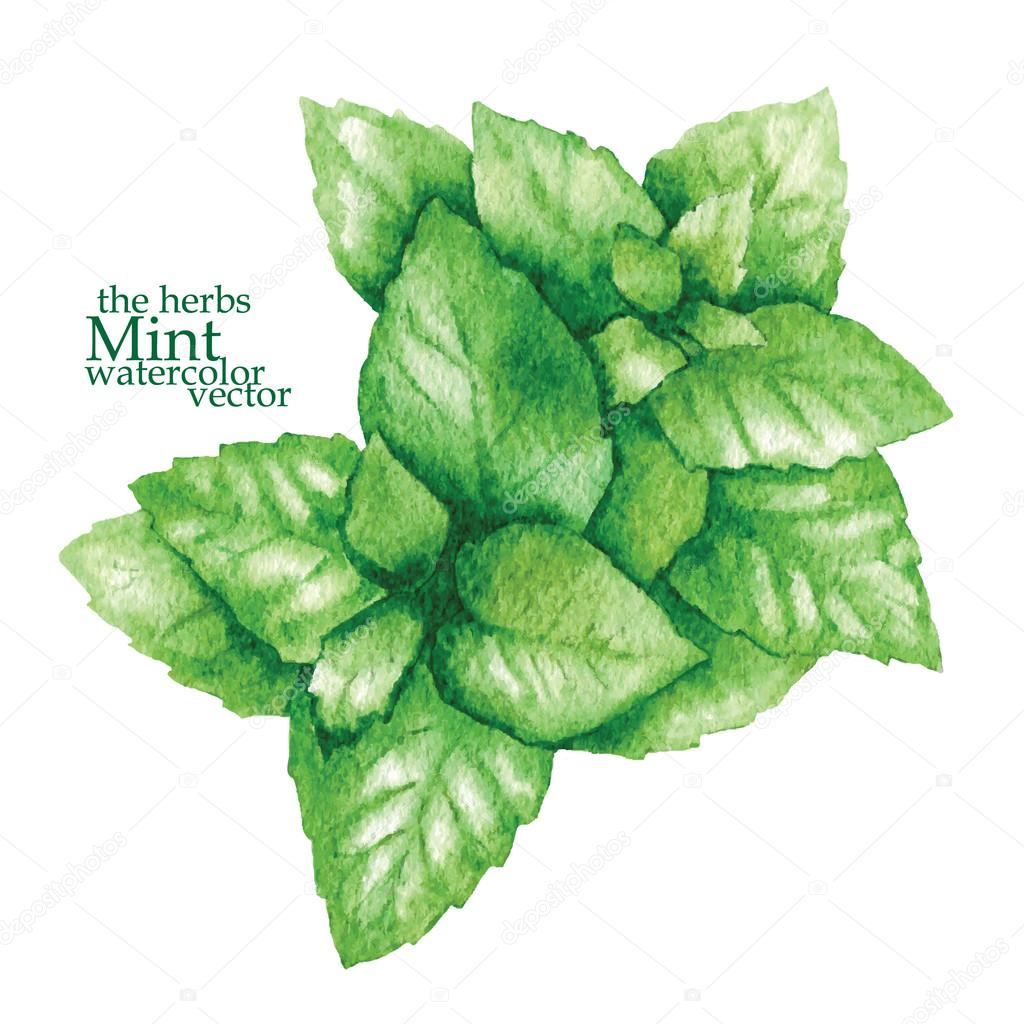 Sketch of mint. Vector illustration.