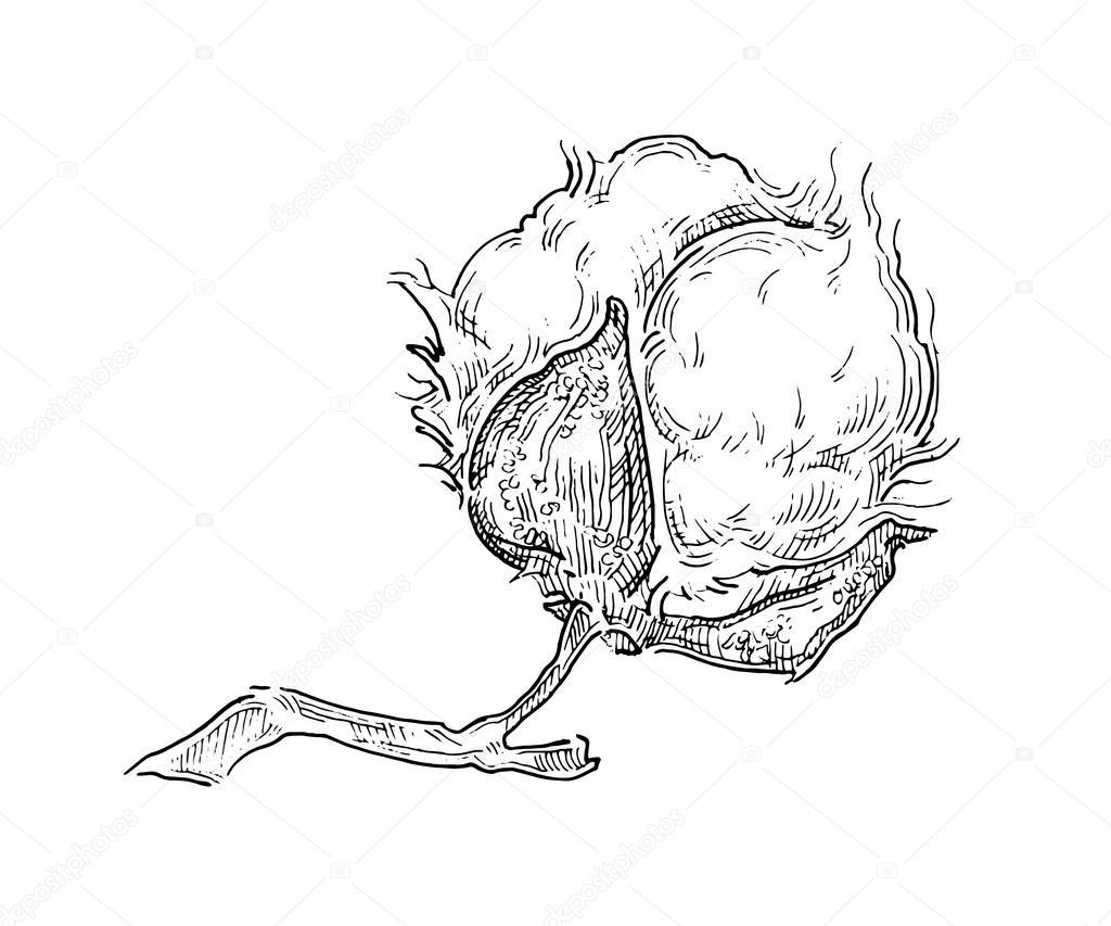 Dibujo De Vector Hecho Mano De Plantas De Algodón