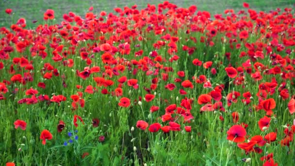 Remembrance poppy, field with poppies, nature, mountains, red flowers, red field, field with flowers,red, flower, tulip, spring, field, nature, poppy, flowers, tulips, garden, sky, blossom, green, summer, beauty, bloom, blue, plant, meadow, landscape