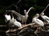 The flock of white pelicans (Pelecanus onocrotalus)