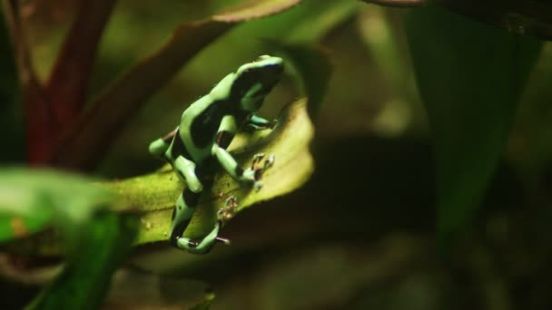 Rana verde anfibio