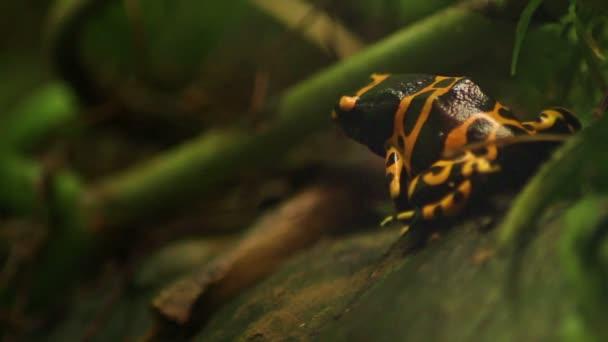 Arancia anfibio rana