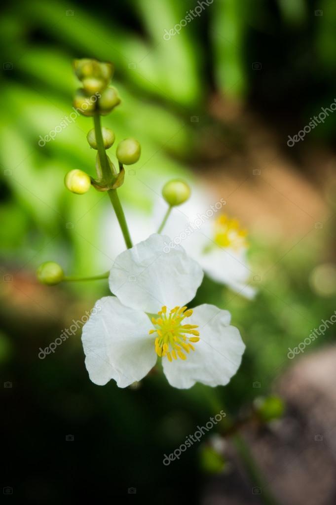 plante aquatique a fleurs blanches