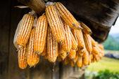 sušená kukuřice je pověšen na střeše