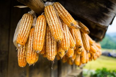 Dried corns is hanged on the roof
