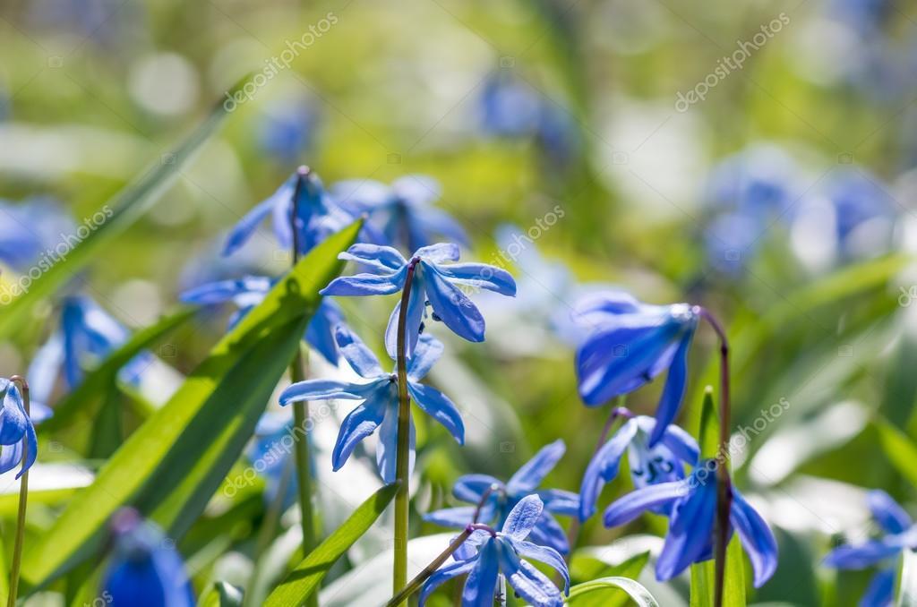 Perce Neige De Fleur Bleue Photographie Fotolesnik C 105625120