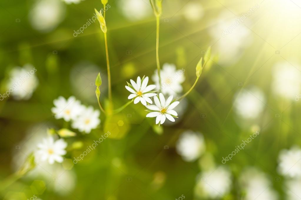 vita vilda blommor