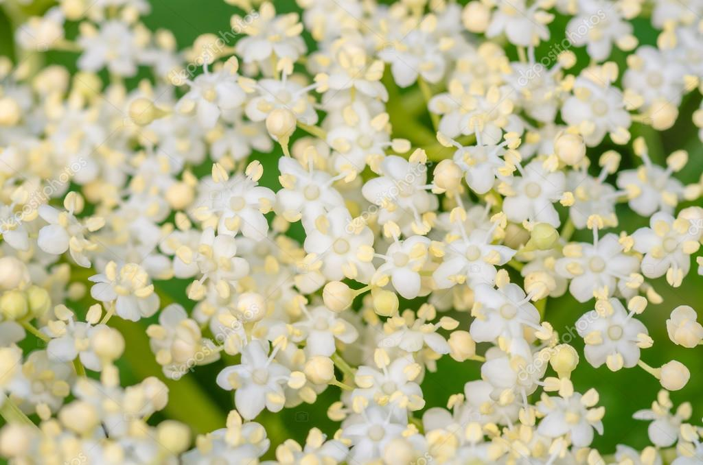 Flores blancas tupidas de un árbol de saúco, sambucus — Fotos de ...