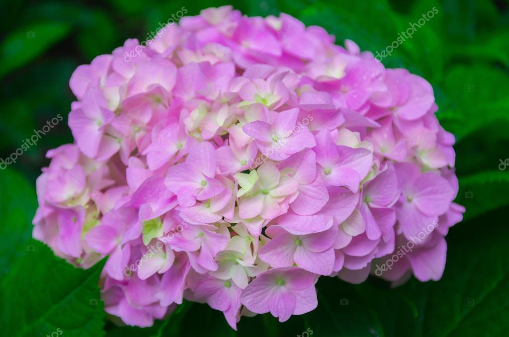 Very beautiful hydrangea