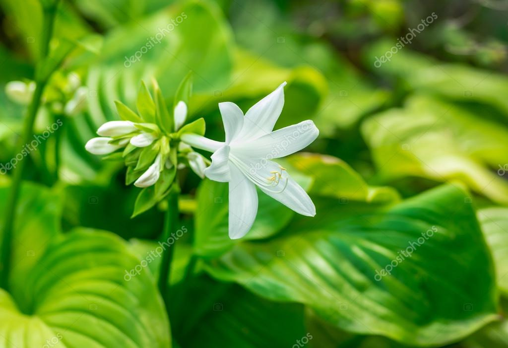 Beautiful white flower blooming hosta stock photo fotolesnik beautiful white flower blooming hosta stock photo mightylinksfo