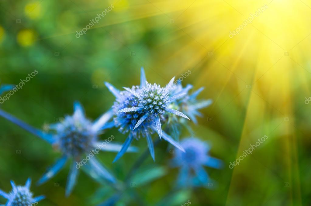 Blue wild thorns