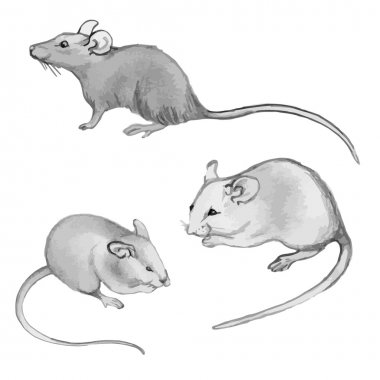 Rats, mice - pencil drawing by hand (set)