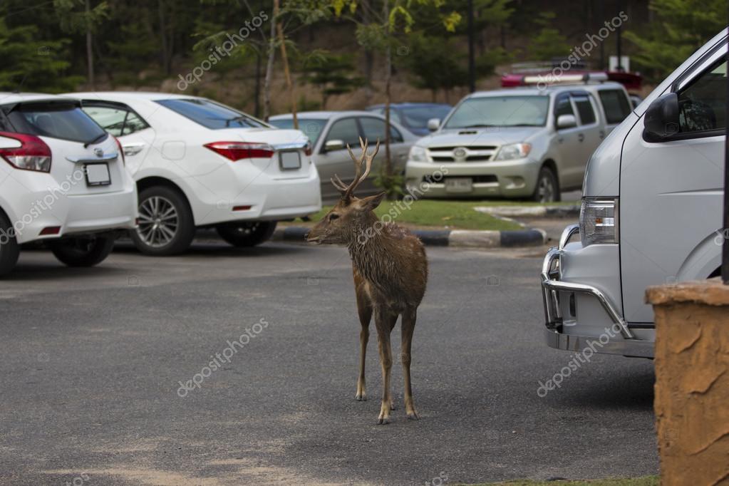 male wild dee