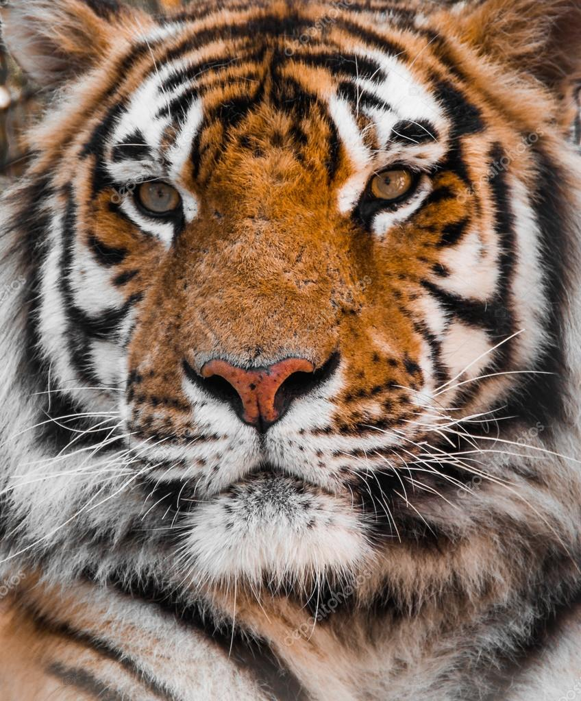 tiger tigers face stock photo vinnitskyy 78479888