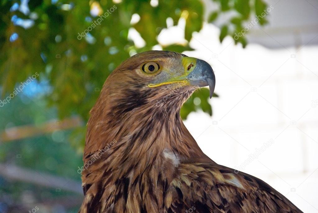 фото орел горный