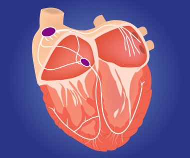 Heart chambers with cardiac conduction system stock vector