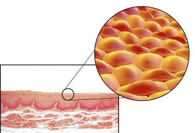 Human cells, micrograph and 3D illustration