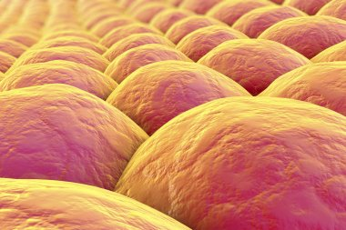 Layer of human cells
