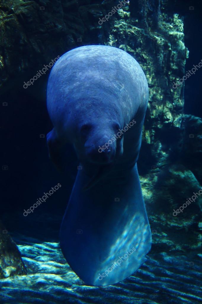 Manatee in aquarium.