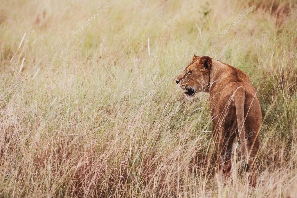 Wild female lion in the African savannah . Tanzania. Serengeti N