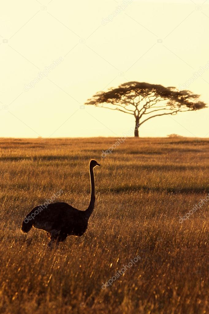 African ostriches in savannah. Backlight.