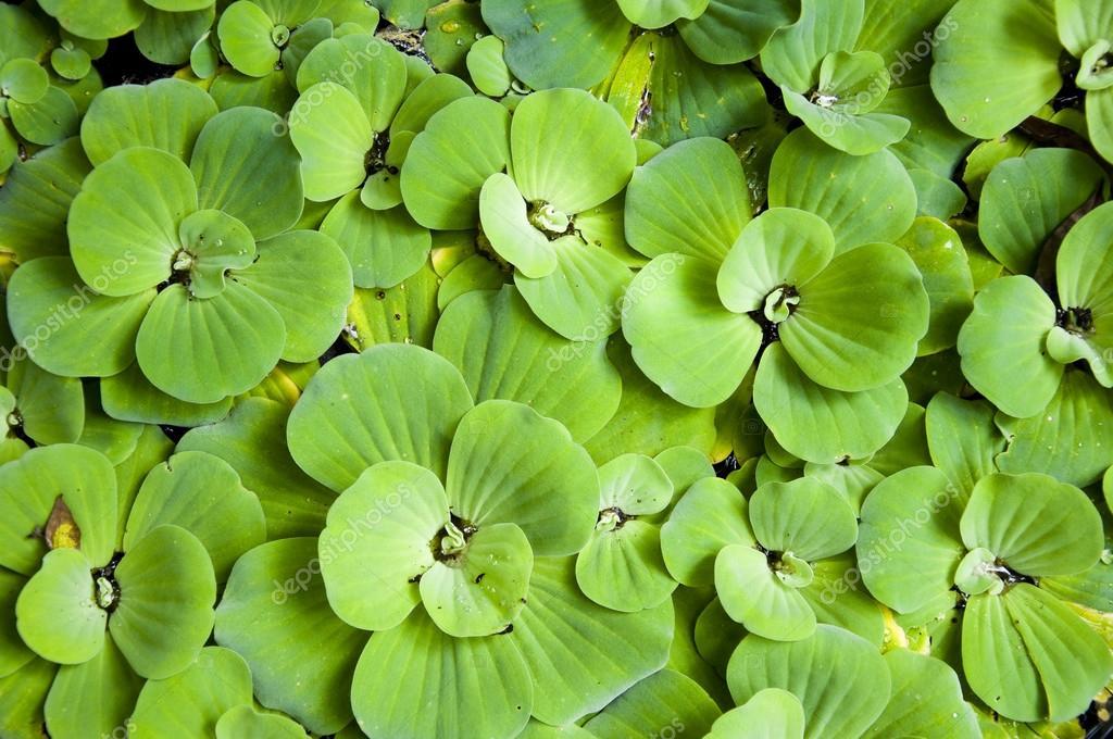 avec des feuilles de fougère d\'eau verte, moustique fern bouchent ...