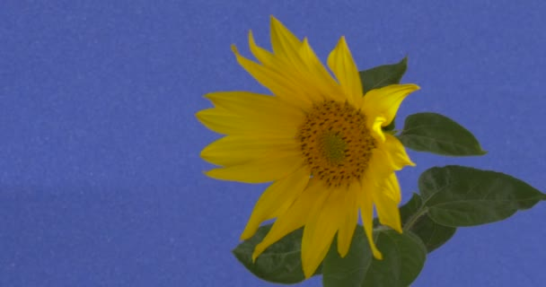 Sunflower Decorative Large Yellow Flower Swaying at the Wind Ornamental Flower Helianthus With Green Leaves Yellow Petals is Taken at Daytime