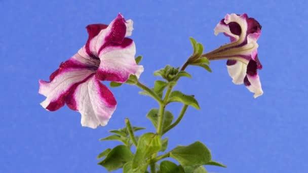 Petunia csíkos fehér és lila virágok zöld száron levelek van csapkodott a szél üzemben a szél nyári napos szeles nap a szabadban stúdió Swaying