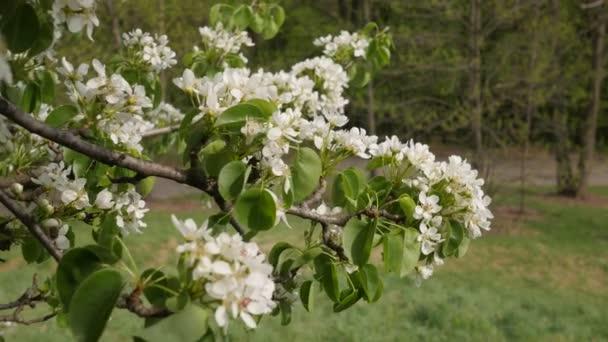 Osoba je Walking větev z Cherry strom bílé květy zelené listy jsou vlající větve jsou kymácející do větru v parku nebo lesní slunečný den jarní