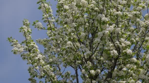 Třešeň s bílými květy, které modrá obrazovka zelené listí větve jsou kymácí ve větru v parku nebo lesní malé Branchy strom ve slunečný den jarní