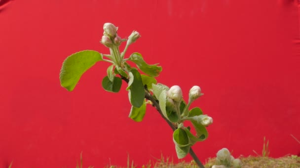Apple Branch Buds of Flowers Plant Young Tree Grows Among Green Grass Thin Green Young Branch on Red Screen Fluttering at the Wind Sunny Spring Day