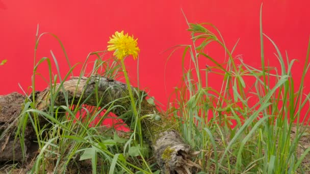 Dandelion Yellow Flower Green Grass Aroung Root Green Young Plants Are Fluttering Swaying at the Wind Sunny Summer or Spring Day Outdoors Studio