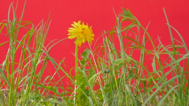 Yellow Dandelion Among Green Grass Are Fluttering Green Lawn Field Young Fresh Grass on a Red Screen is Swaying at the Wind Sunny Summer or Spring Day