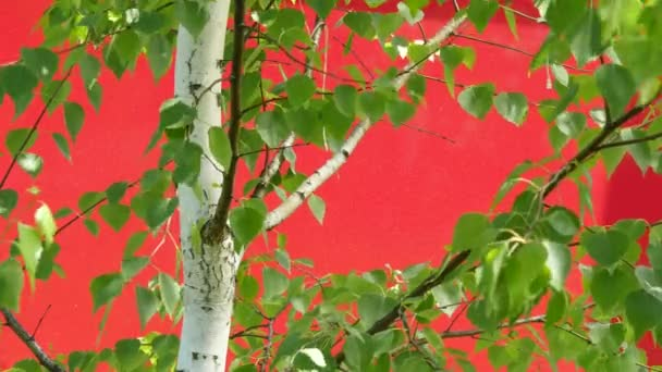 Birch Trunk, White Trunk, Tree, Swaying Trunk, Fluttering Leaves, on Red Background, Chromakey, Chroma Key, Alfa